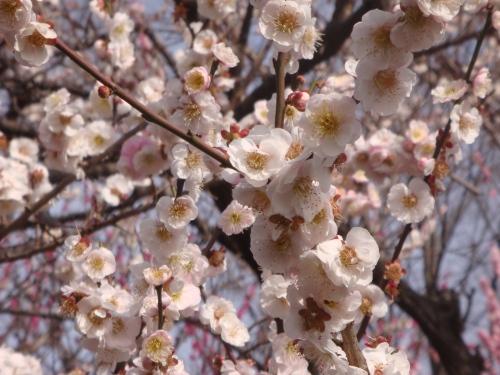 梅は咲いたか.jpg